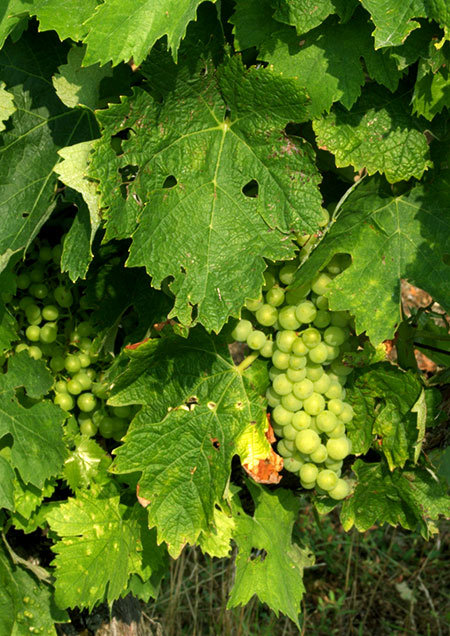 Grapes in the Vines